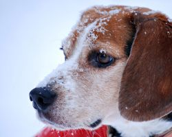 Winter Beagle by maryphotos