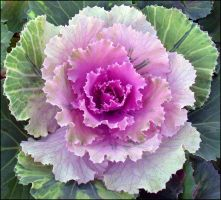 ORNAMENTAL CABBAGE 2 by THOM-B-FOTO