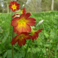 Red Primrose by Paul774