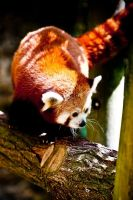Red Panda by nicky