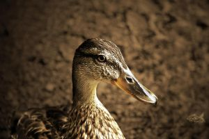 Portrait of a Duck V2 by eyefish