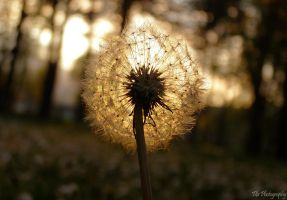 Dandelion on Sunset by FLixter