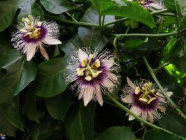 Wild Passiflora by joeyartist