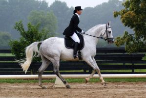 Gray Warmblood Gelding 001 by diamonte-stock