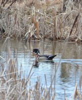 Wood duck (male) by IdolRebel