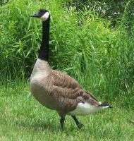 Goose 2 by amalym