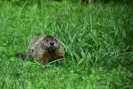 Groundhog in the Yard by JamDebris
