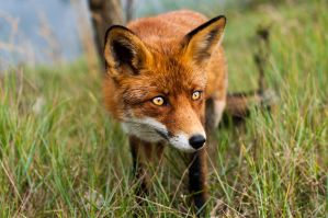 Foxes 5 by DarkDeltaPhoto