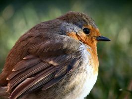 Tim the robin IV by celtes