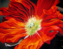 Mohn I by GreenMusic