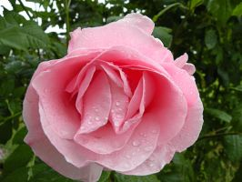 smell the roses by elliemoo