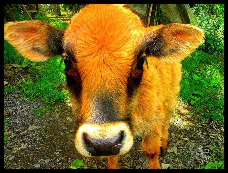 calf by lonelymount