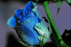 blue rose by Gothic-Dreamscapes