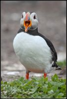Puffin Calling by nitsch