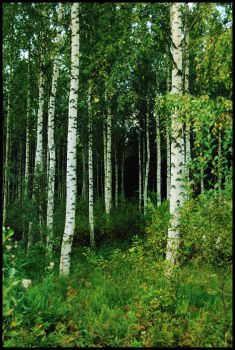 BG Birch Grove II by Eirian-stock