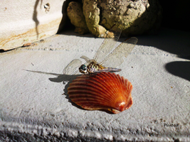 DragonFly Shell 3 by Piucca