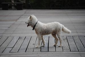 White Dog 2.2 by mocking-turtle-stock