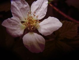 Blackberry Blossom IV by MadeleineAlana