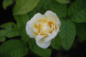 The Whitish Flower by Mcnicky