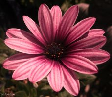 Pink beauty by ansdesign