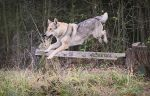 Wolfdogs Can Fly XVII. by Czertice