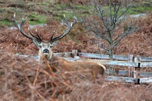 Stag in the bracon by AshleySmith