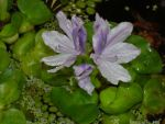Lavender Waterlily by naneth
