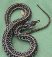 Garter Snake 1 by BlueMoon30