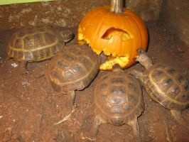 My Tortoises Carve the Pumpkin! by riverTurtle790
