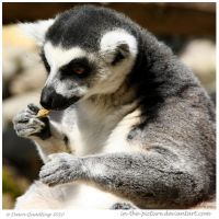 Hungry Ring Tailed Lemur by In-the-picture