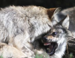 Wolf XII by Parides