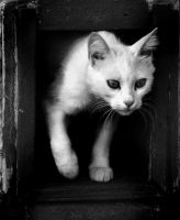 The Turkish Angora by nalptekin