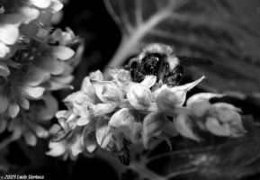 Bumble-bee on a flower BW by luciasek