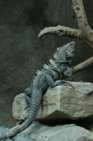 Iguana by Drezdany-stocks