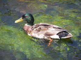 MA Duck by corrupt-prodigy