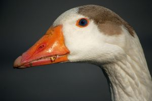 Toupe Goose by mtsofan