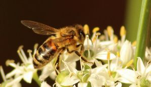 Bee  and garlic chives by wolftraz