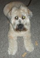 Nya The Wheaten Terrier by BLUE-PROMETHEUS
