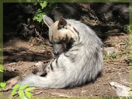 Denver zoo - Striped Hyena by AzureHowlShilach