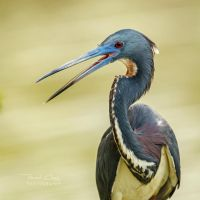 .:Tricolored Heron:. by RHCheng