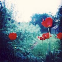 LOMO tulips by BlackDennie
