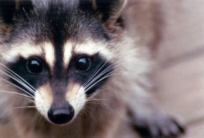 racoon-part of a series by sheida21