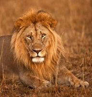 King of the Masai Mara by catman-suha