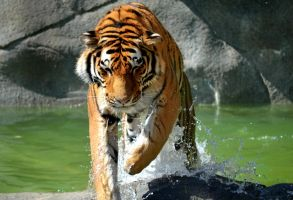 Pool Side Tiger by JorlinMarie