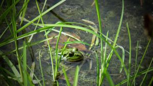 Frog by Irkis