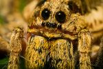 Wolf Spider at 4x by dalantech
