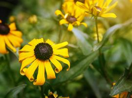 Black-eyed Susans in the sun by DillonStein