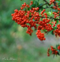 Red berries by Mark-Allison