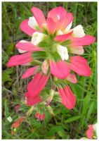 Indian Paintbrush by shawn529