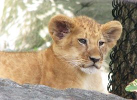Lion Stock 6: Cub by HOTNStock